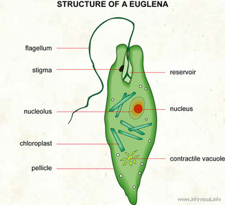 Euglena on amoeba nutrition